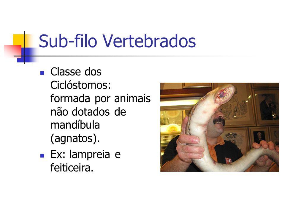 Sub-filo Vertebrados Classe dos Ciclóstomos: formada por animais não dotados de mandíbula (agnatos). Ex: lampreia e feiticeira.