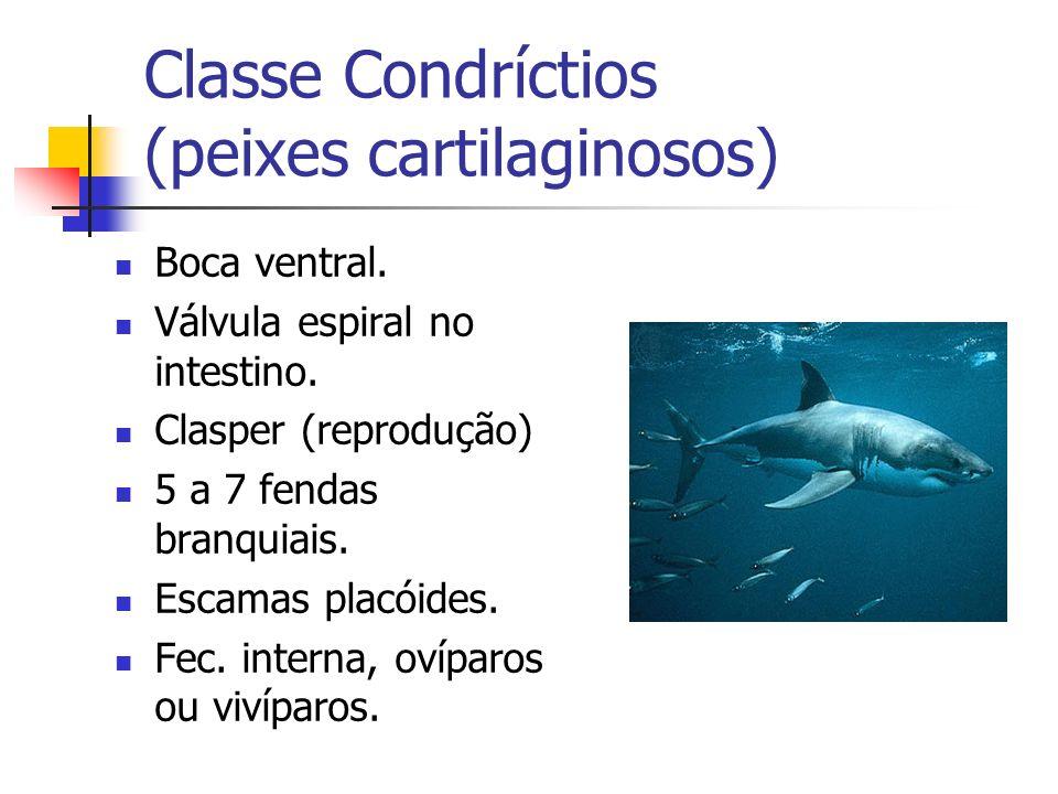 Classe Condríctios (peixes cartilaginosos) Boca ventral. Válvula espiral no intestino. Clasper (reprodução) 5 a 7 fendas branquiais. Escamas placóides