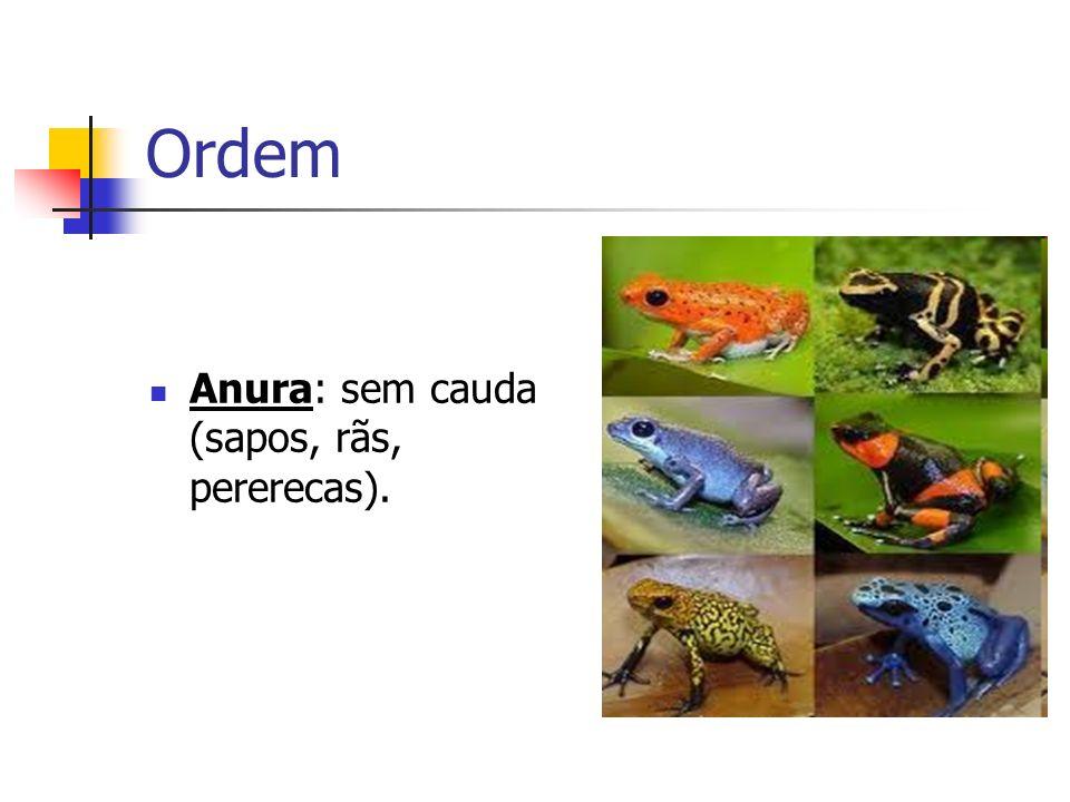 Ordem Ápoda: sem patas (cobra-cega = cecília).