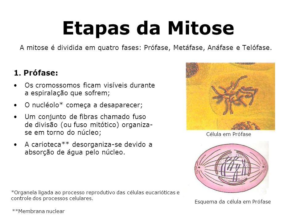 Etapas da Mitose A mitose é dividida em quatro fases: Prófase, Metáfase, Anáfase e Telófase. 1. Prófase: Os cromossomos ficam visíveis durante a espir