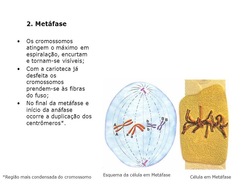 2. Metáfase Os cromossomos atingem o máximo em espiralação, encurtam e tornam-se visíveis; Com a carioteca já desfeita os cromossomos prendem-se às fi