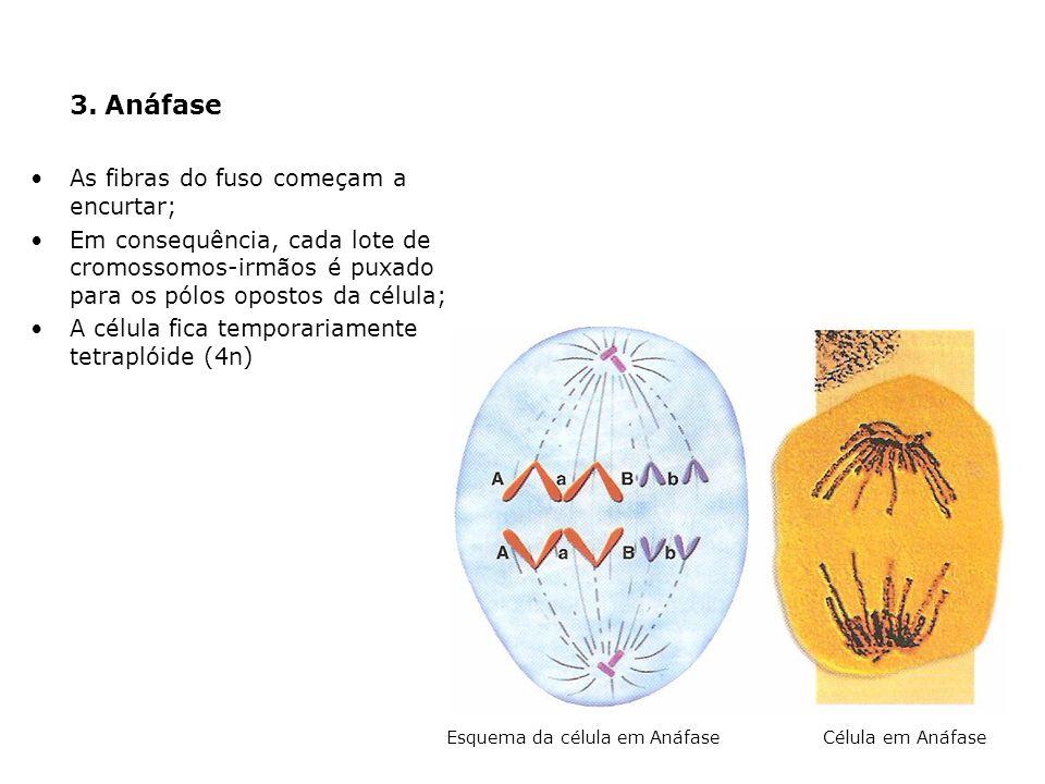 3. Anáfase As fibras do fuso começam a encurtar; Em consequência, cada lote de cromossomos-irmãos é puxado para os pólos opostos da célula; A célula f