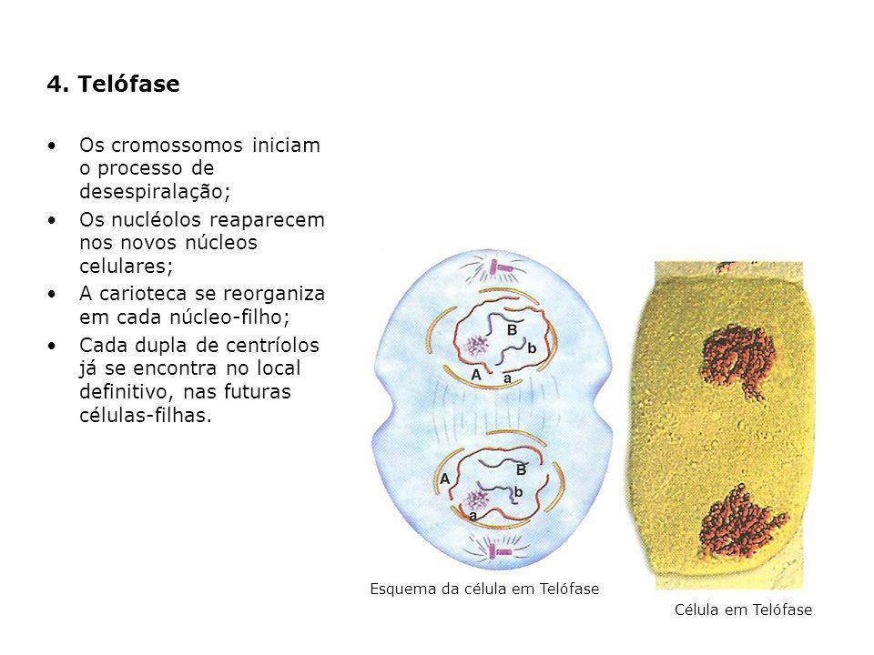 4. Telófase Os cromossomos iniciam o processo de desespiralação; Os nucléolos reaparecem nos novos núcleos celulares; A carioteca se reorganiza em cad