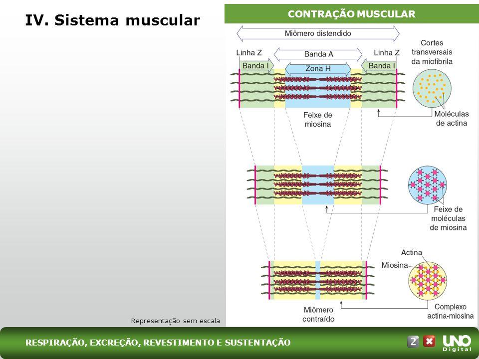 IV. Sistema muscular CONTRAÇÃO MUSCULAR Representação sem escala RESPIRAÇÃO, EXCREÇÃO, REVESTIMENTO E SUSTENTAÇÃO