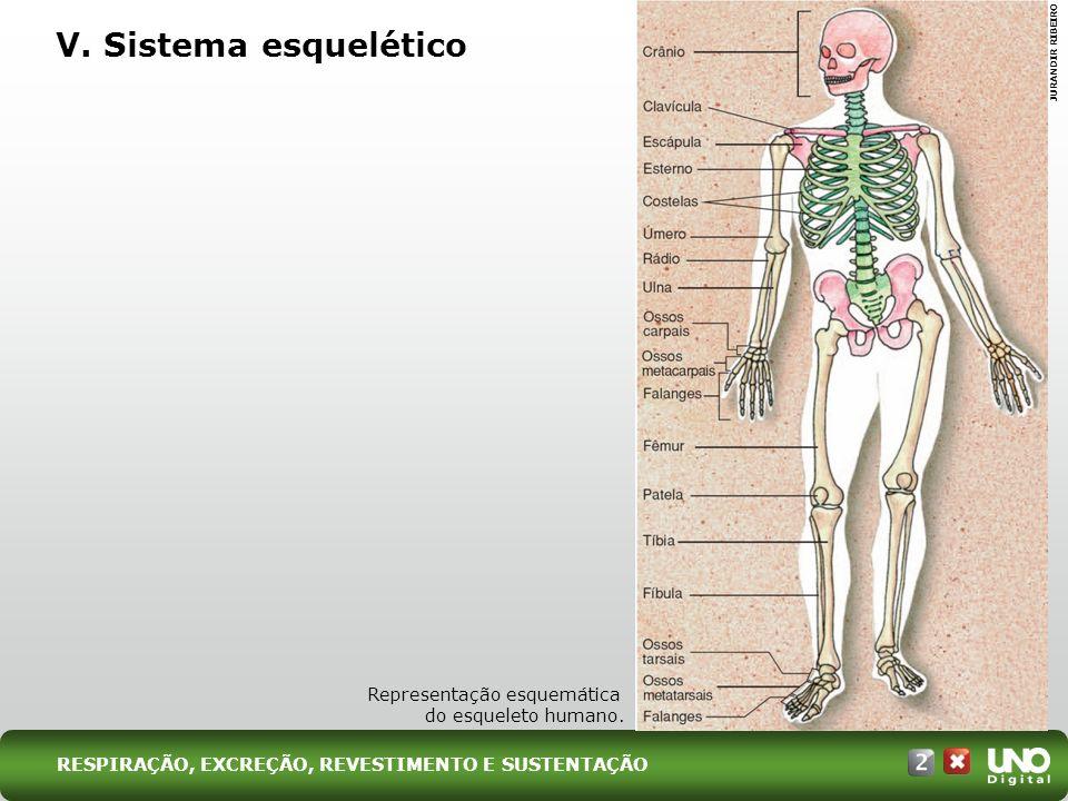 V. Sistema esquelético JURANDIR RIBEIRO Representação esquemática do esqueleto humano. RESPIRAÇÃO, EXCREÇÃO, REVESTIMENTO E SUSTENTAÇÃO