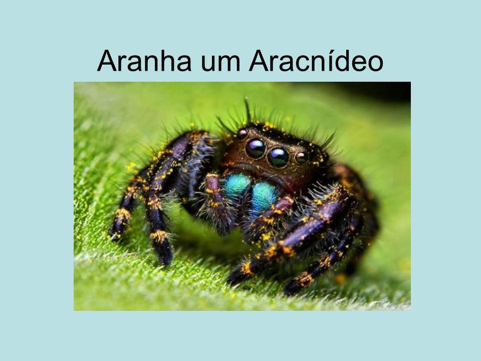 As aranhas tem o corpo dividido em cefalotórax, onde estão localizados quatro pares de pernas, um par de pedipalpos e um par de quelíceras (ferrão) e geralmente possuem oito olhos, existindo exceções a algumas espécies que possuem seis e até nenhum olho.