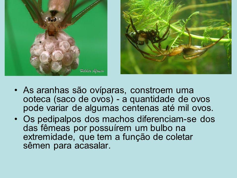 As aranhas são ovíparas, constroem uma ooteca (saco de ovos) - a quantidade de ovos pode variar de algumas centenas até mil ovos.