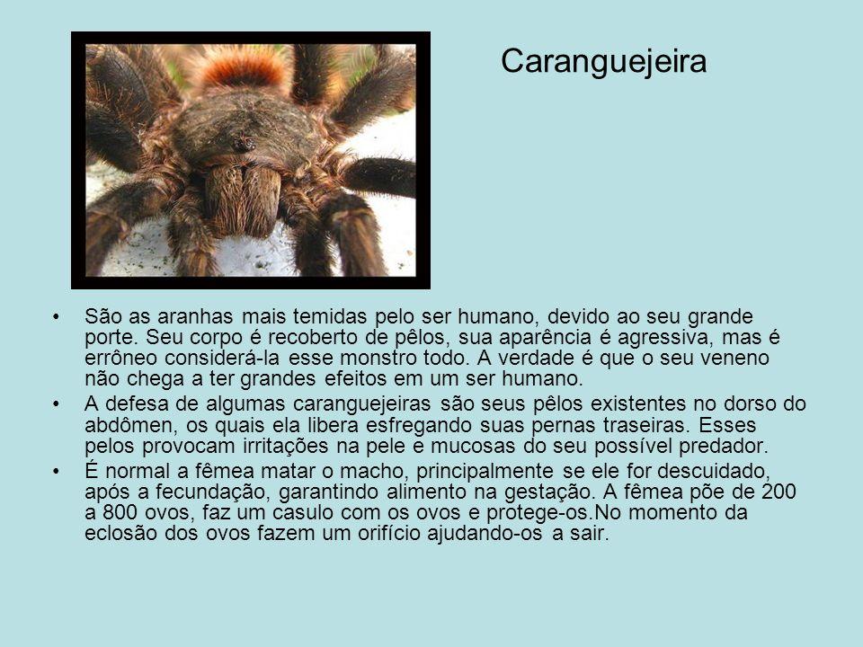 Caranguejeira São as aranhas mais temidas pelo ser humano, devido ao seu grande porte.