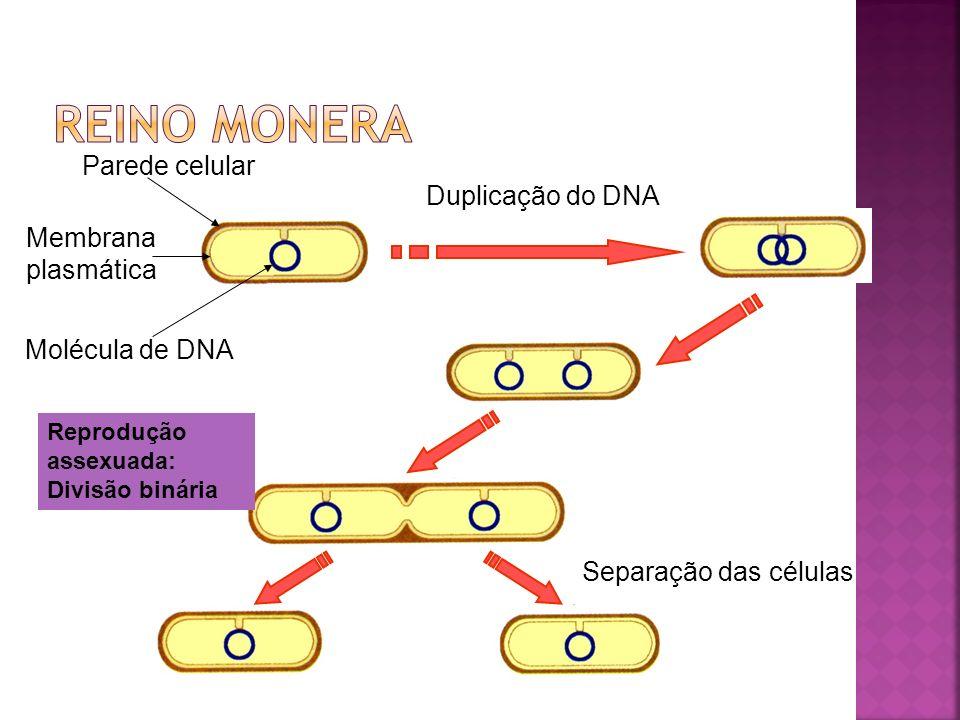 Célula bacteriana Lise celularQuebra do DNA Fragmentos de DNA doador Célula bacteriana Fragmentos de DNA ligam-se à superfície da célula receptora.