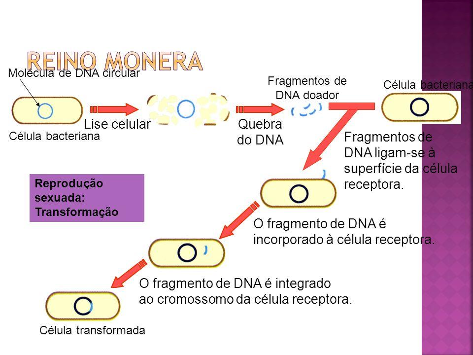 Fago O DNA do fago integra-se ao DNA da bactéria como um profago.