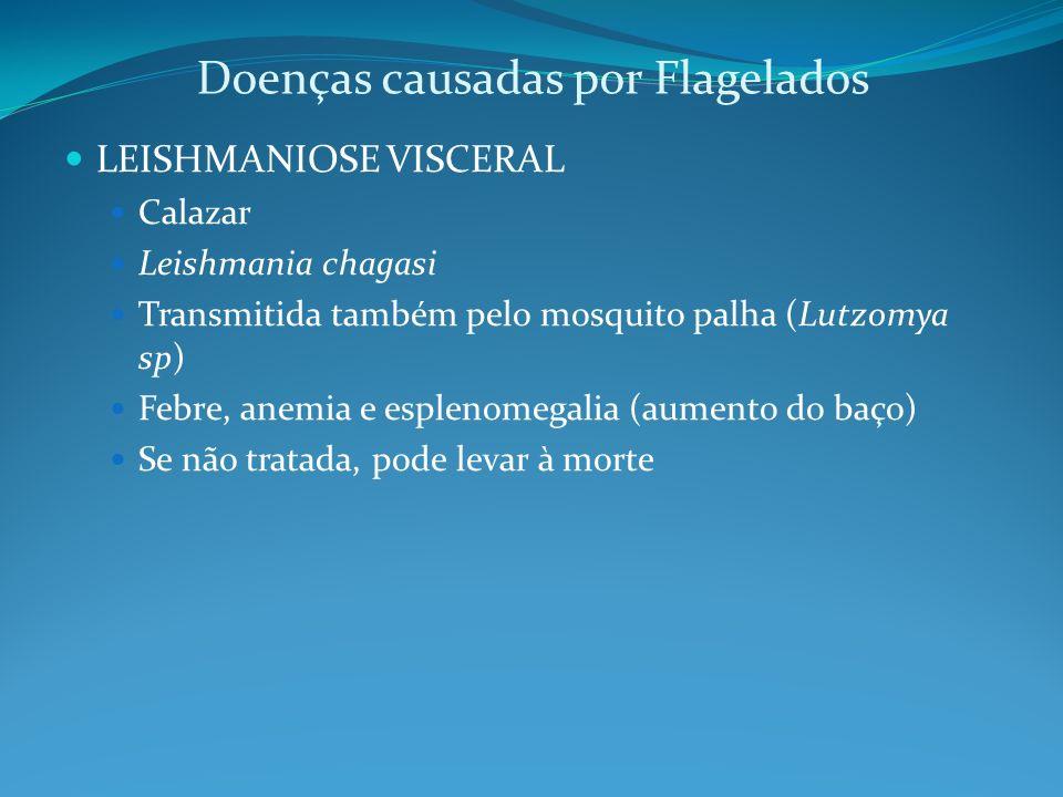 Doenças causadas por Flagelados LEISHMANIOSE VISCERAL Calazar Leishmania chagasi Transmitida também pelo mosquito palha (Lutzomya sp) Febre, anemia e