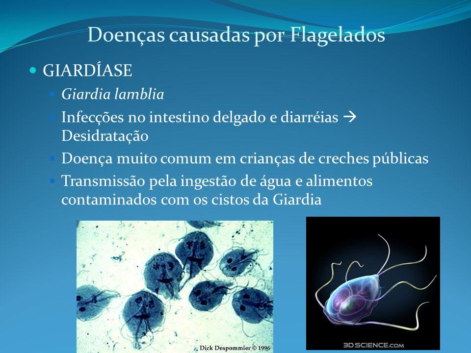 Doenças causadas por Flagelados GIARDÍASE Giardia lamblia Infecções no intestino delgado e diarréias Desidratação Doença muito comum em crianças de cr