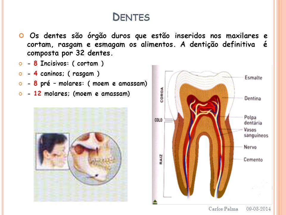 D ENTES Os dentes são órgão duros que estão inseridos nos maxilares e cortam, rasgam e esmagam os alimentos. A dentição definitiva é composta por 32 d