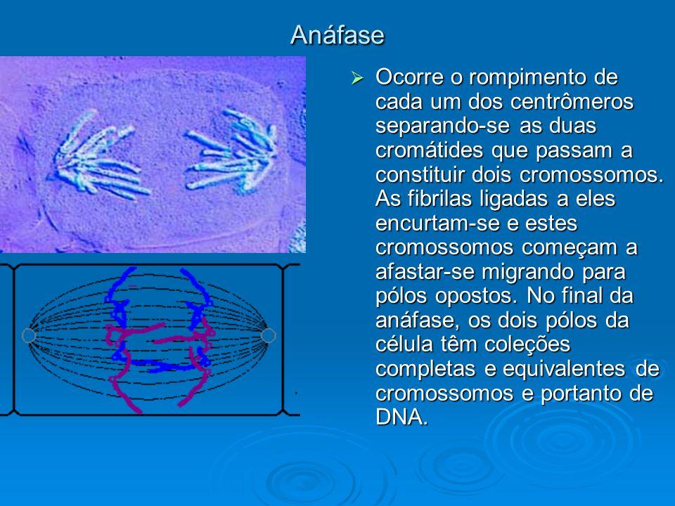 Anáfase Ocorre o rompimento de cada um dos centrômeros separando-se as duas cromátides que passam a constituir dois cromossomos. As fibrilas ligadas a