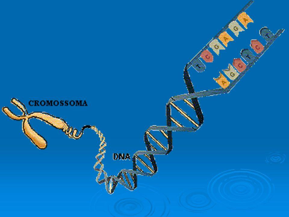 Intérfase -G1 S G2 S- Duplicação cromossômica-DNA