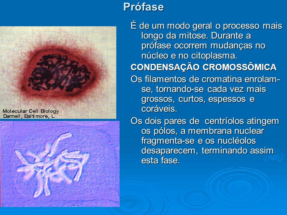 Metáfase Os cromossomos atingem o seu máximo encurtamento devido a forte condensação.