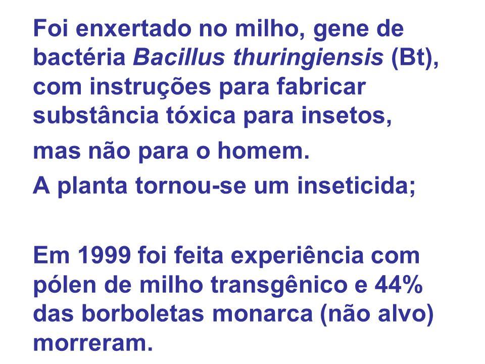 Foi enxertado no milho, gene de bactéria Bacillus thuringiensis (Bt), com instruções para fabricar substância tóxica para insetos, mas não para o home
