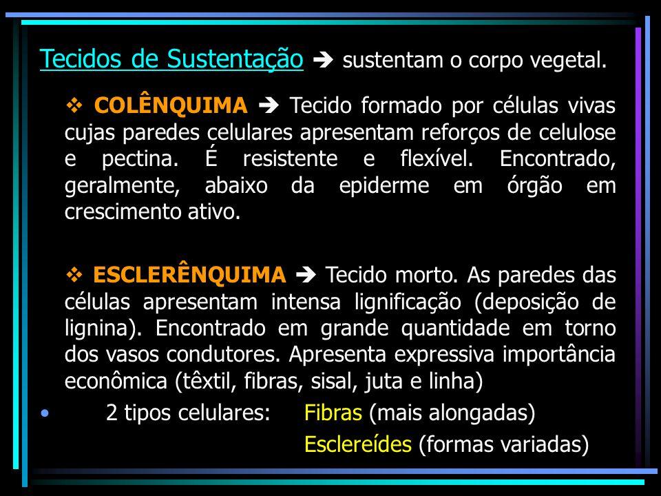 Tecidos de Sustentação sustentam o corpo vegetal. v COLÊNQUIMA Tecido formado por células vivas cujas paredes celulares apresentam reforços de celulos