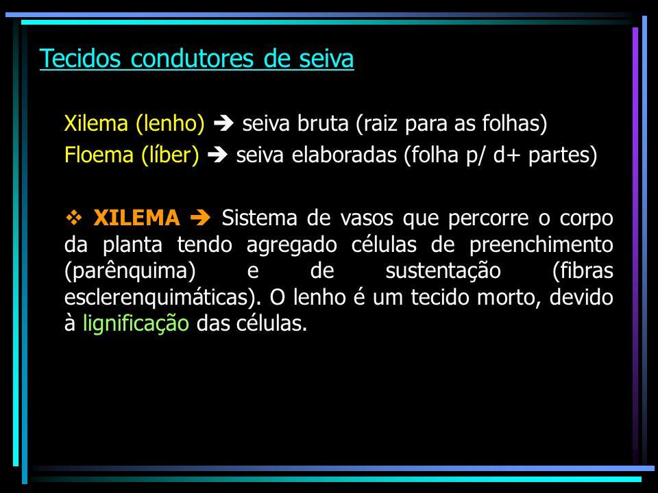 Tecidos condutores de seiva Xilema (lenho) seiva bruta (raiz para as folhas) Floema (líber) seiva elaboradas (folha p/ d+ partes) v XILEMA Sistema de