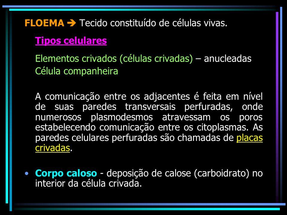 FLOEMA Tecido constituído de células vivas. Tipos celulares Elementos crivados (células crivadas) – anucleadas Célula companheira A comunicação entre