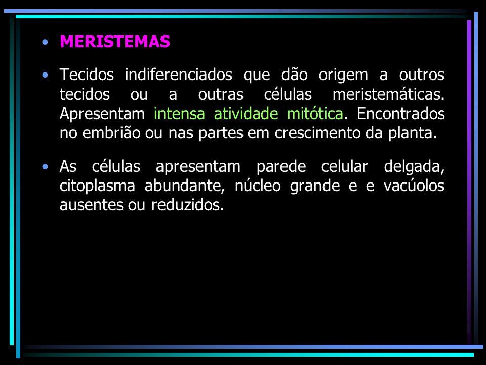 MERISTEMAS Tecidos indiferenciados que dão origem a outros tecidos ou a outras células meristemáticas. Apresentam intensa atividade mitótica. Encontra