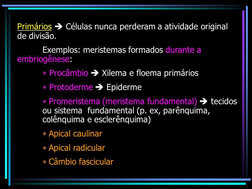 Primários Células nunca perderam a atividade original de divisão. Exemplos: meristemas formados durante a embriogênese: Procâmbio Xilema e floema prim