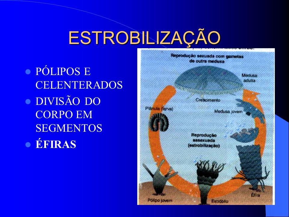 ESTROBILIZAÇÃO PÓLIPOS E CELENTERADOS DIVISÃO DO CORPO EM SEGMENTOS ÉFIRAS