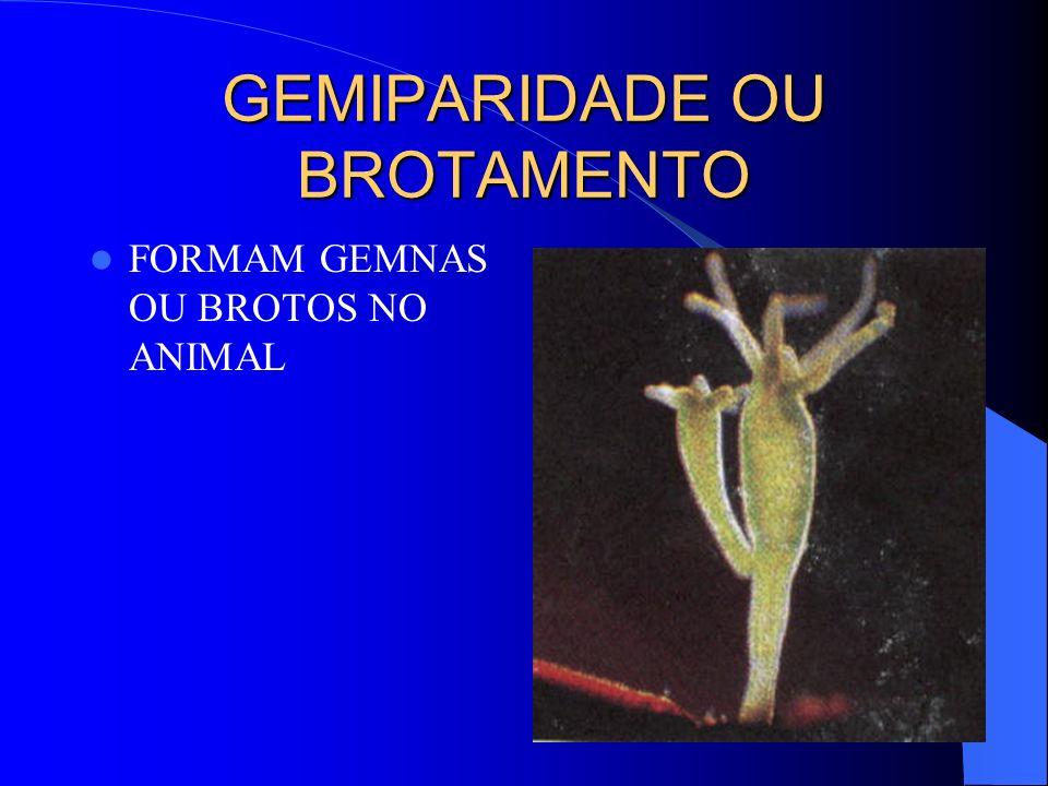 GEMIPARIDADE OU BROTAMENTO FORMAM GEMNAS OU BROTOS NO ANIMAL