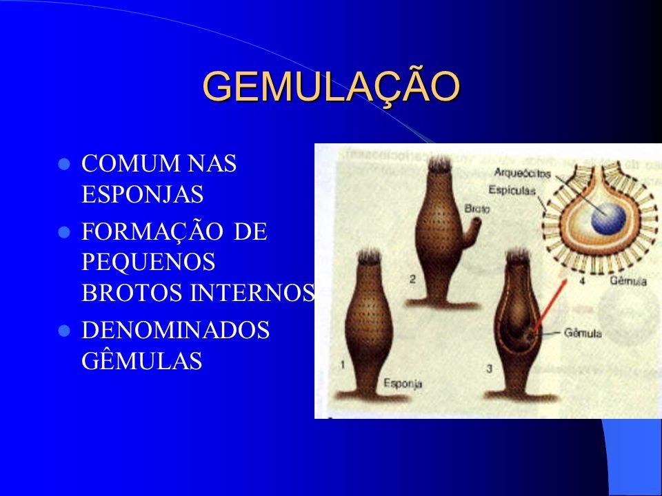 GEMULAÇÃO COMUM NAS ESPONJAS FORMAÇÃO DE PEQUENOS BROTOS INTERNOS DENOMINADOS GÊMULAS