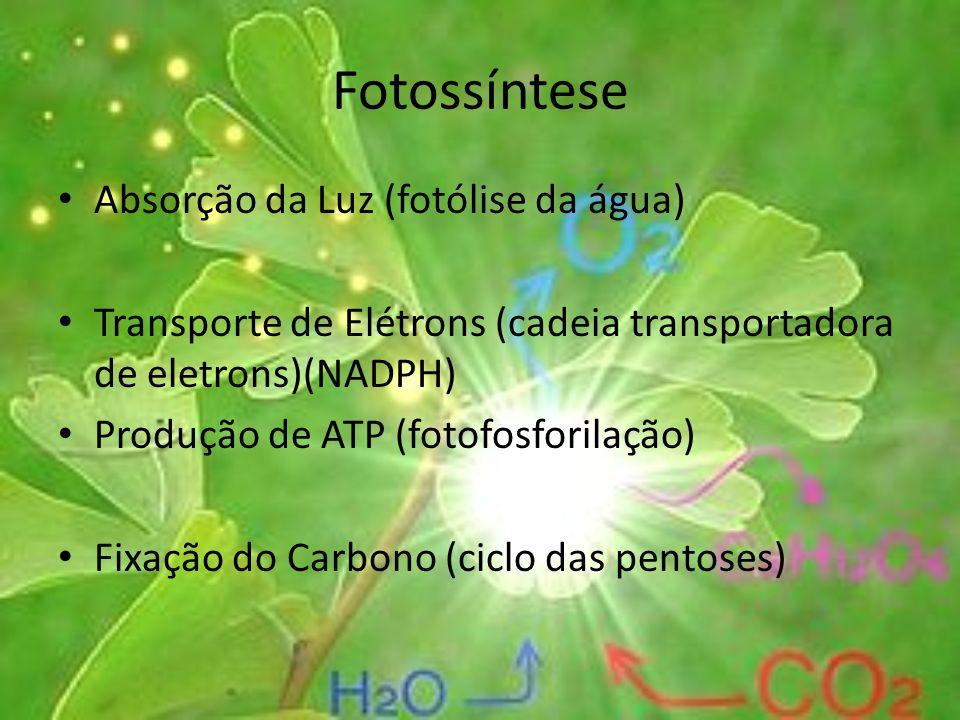 Fotossíntese Absorção da Luz (fotólise da água) Transporte de Elétrons (cadeia transportadora de eletrons)(NADPH) Produção de ATP (fotofosforilação) F