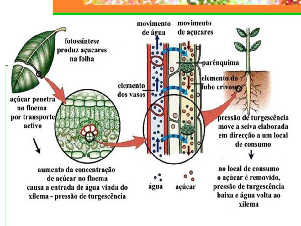 Modelo de Münch ou pressão positiva de seiva Funcionamento: o osmômetro A, mais concentrado, absorve mais água do que o osmômetro B.