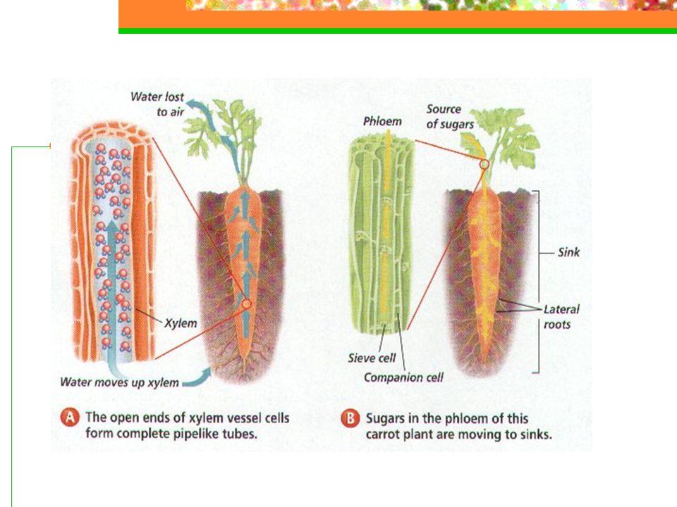 Retirando um anel completo da casca (anel de Malpighi) que envolve o vegetal, interrompemos a distribuição de seiva elaborada em direção à raiz, pois os vasos liberianos são lesados, levando à morte das raízes depois de certo tempo.