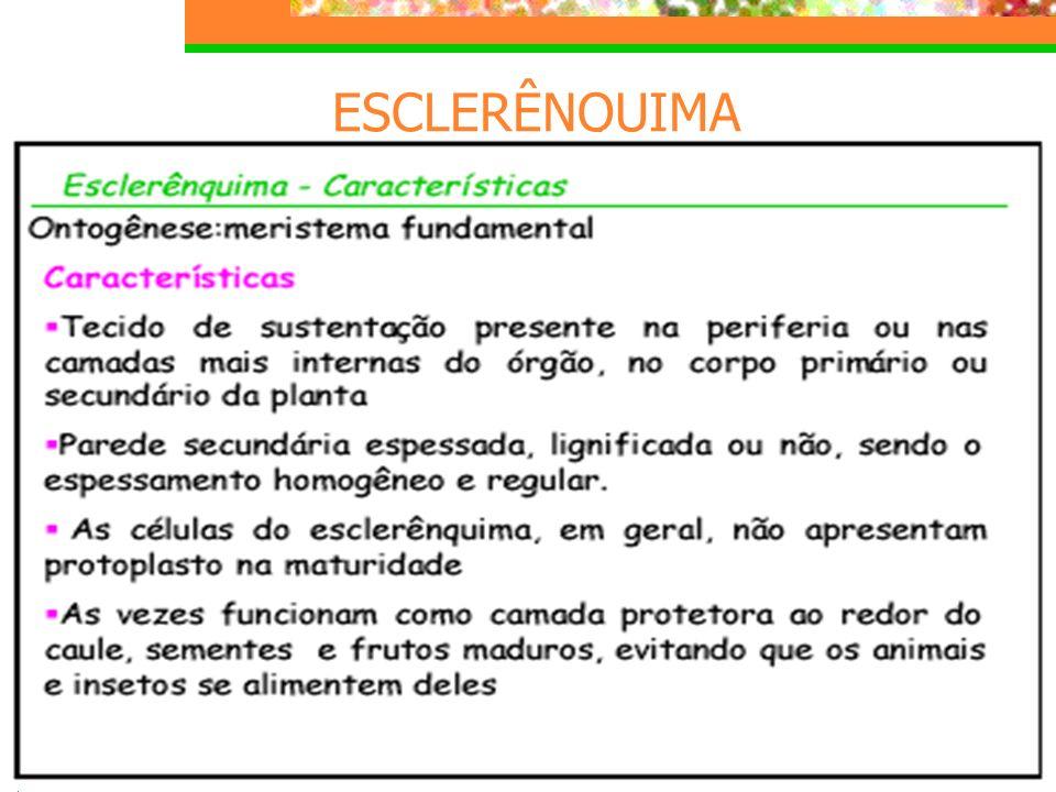 COLÊNQUIMA TECIDOS DE SUSTENTAÇÃO