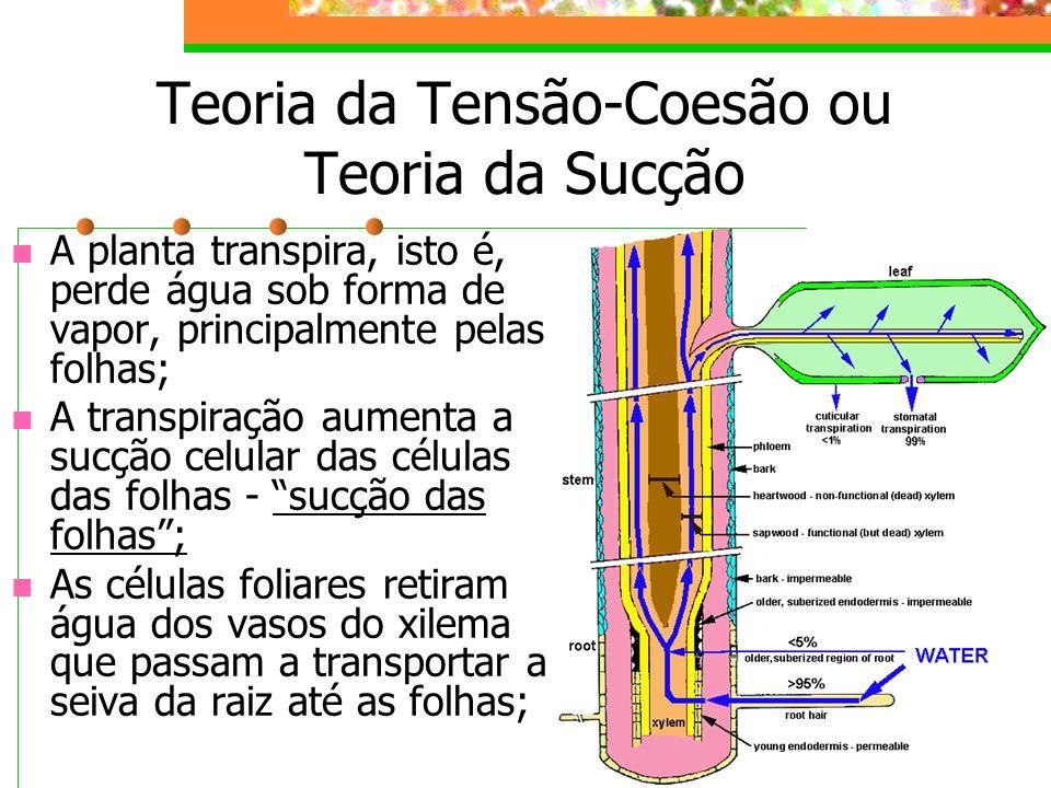 XILEMA(LENHO) : CONDUÇÃO DE SEIVA BRUTA OU INORGÂNICA SEIVA BRUTA : água + sais SENTIDO : raiz folhas TEORIA de DIXON ou COESÃO TENSÃO TRANSPIRAÇÃO : folhas exercerem uma força de sucção que garante a ascensão de uma coluna de água no interior do xilema desde as raízes, conforme ocorre a transpiração.