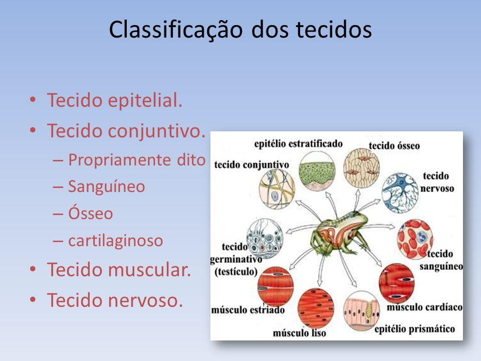 Classificação dos tecidos Tecido epitelial. Tecido conjuntivo. – Propriamente dito – Sanguíneo – Ósseo – cartilaginoso Tecido muscular. Tecido nervoso