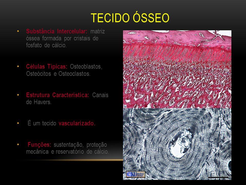 TECIDO ÓSSEO Substância Intercelular: matriz óssea formada por cristais de fosfato de cálcio. Células Típicas: Osteoblastos, Osteócitos e Osteoclastos