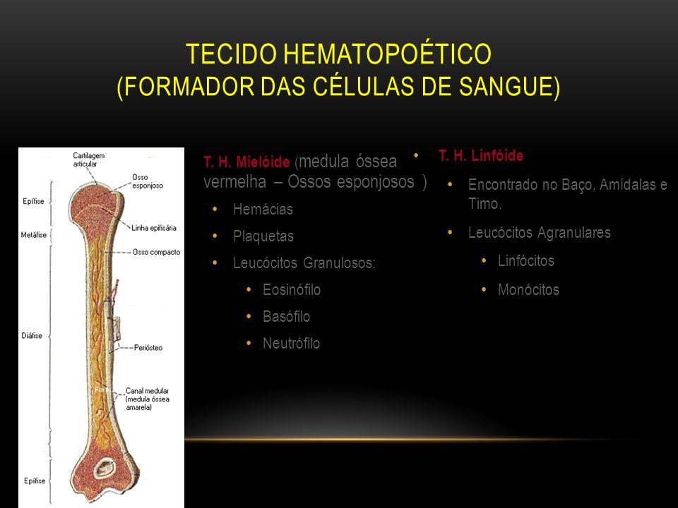 T. H. Mielóide ( medula óssea vermelha – Ossos esponjosos ) Hemácias Plaquetas Leucócitos Granulosos: Eosinófilo Basófilo Neutrófilo T. H. Linfóide En