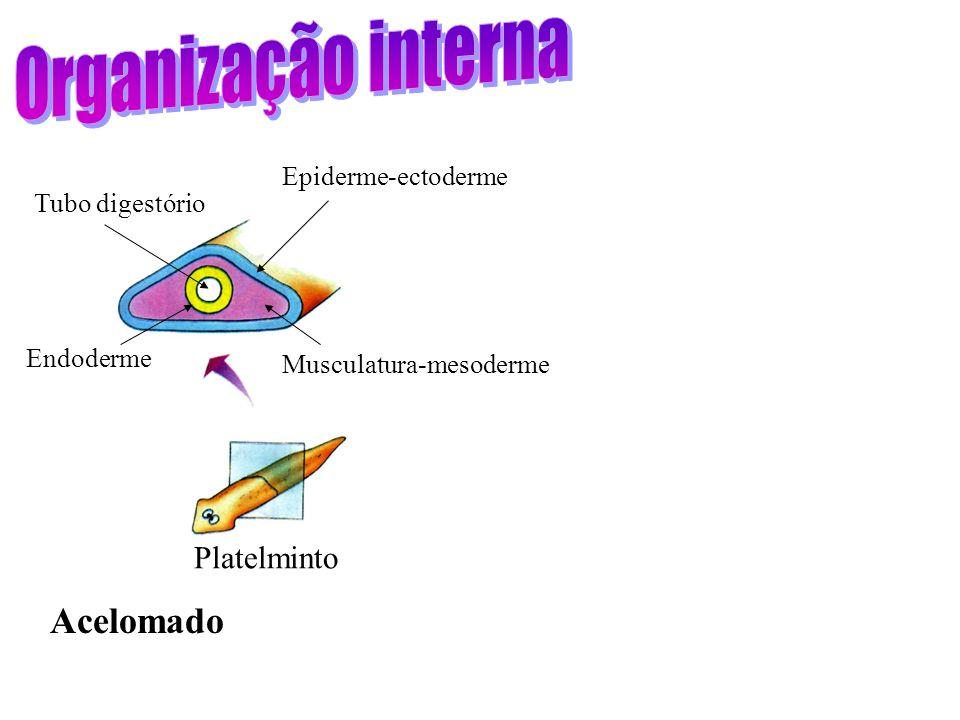 Protista ancestral flageladoMulticelularidade Porifera Cnidaria Desenvolvimento embrionário: mórula e blástula Gastrulação e tecidos verdadeiros (Eume