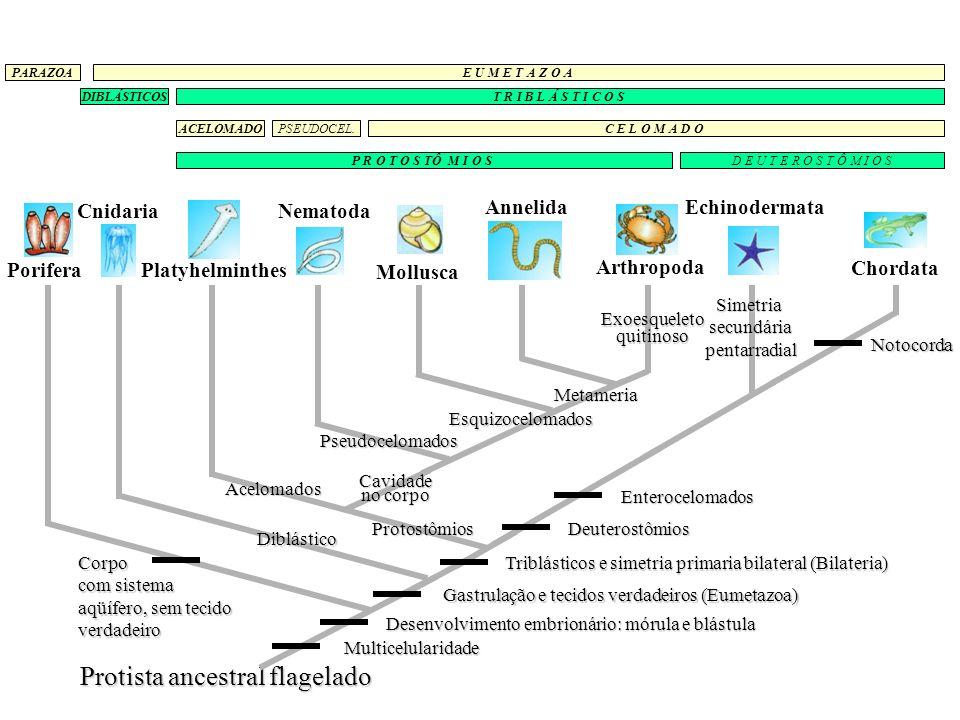 > blastóporo dá origem ao ânus > celoma derivado de invaginações do tubo digestivo