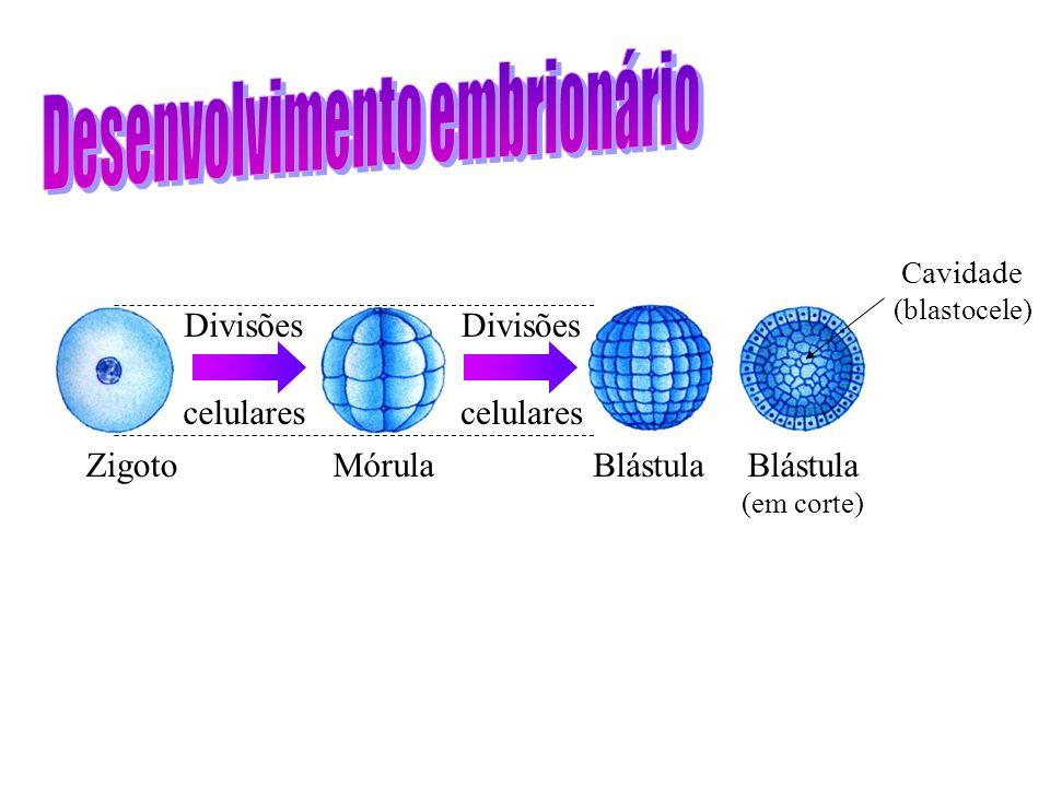 Zigoto Divisões celulares MórulaBlástula (em corte) Divisões celulares Cavidade (blastocele)