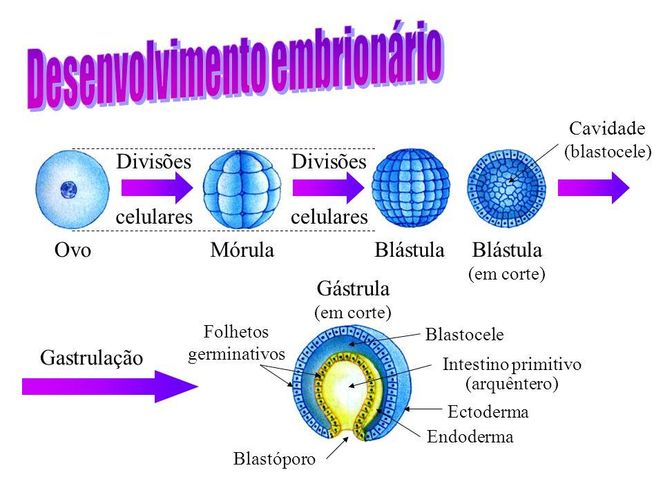 Ovo Divisões celulares MórulaBlástula (em corte) Divisões celulares Cavidade (blastocele) Gastrulação Gástrula (em corte) Blastóporo Endoderma Ectoderma Intestino primitivo (arquêntero) Blastocele Folhetos germinativos