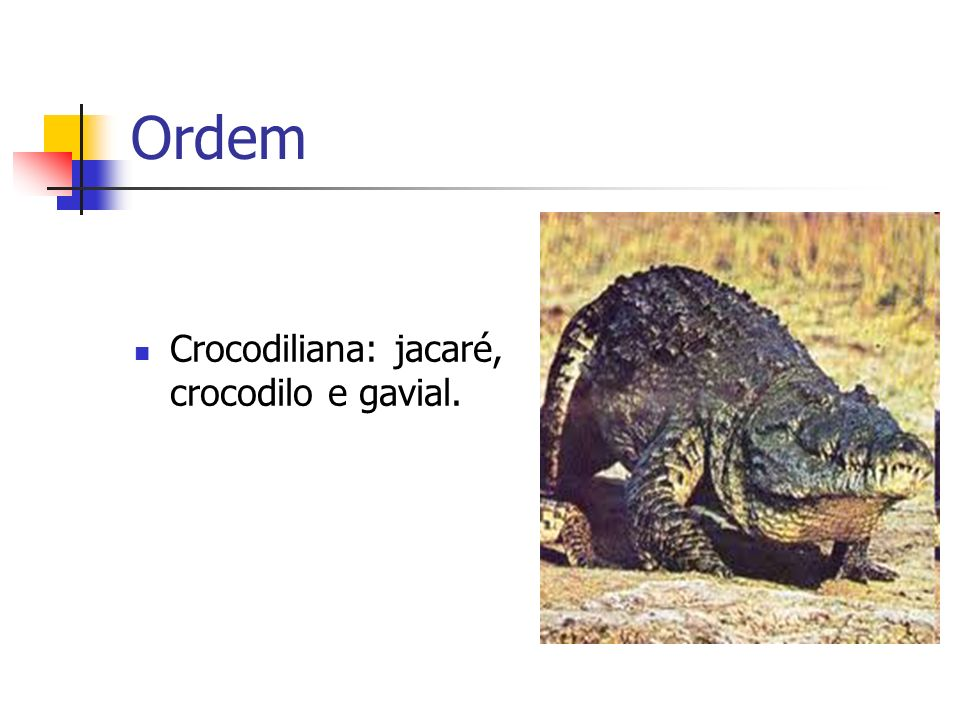 Ordem Escamada: lagarto, iguana e cobra.