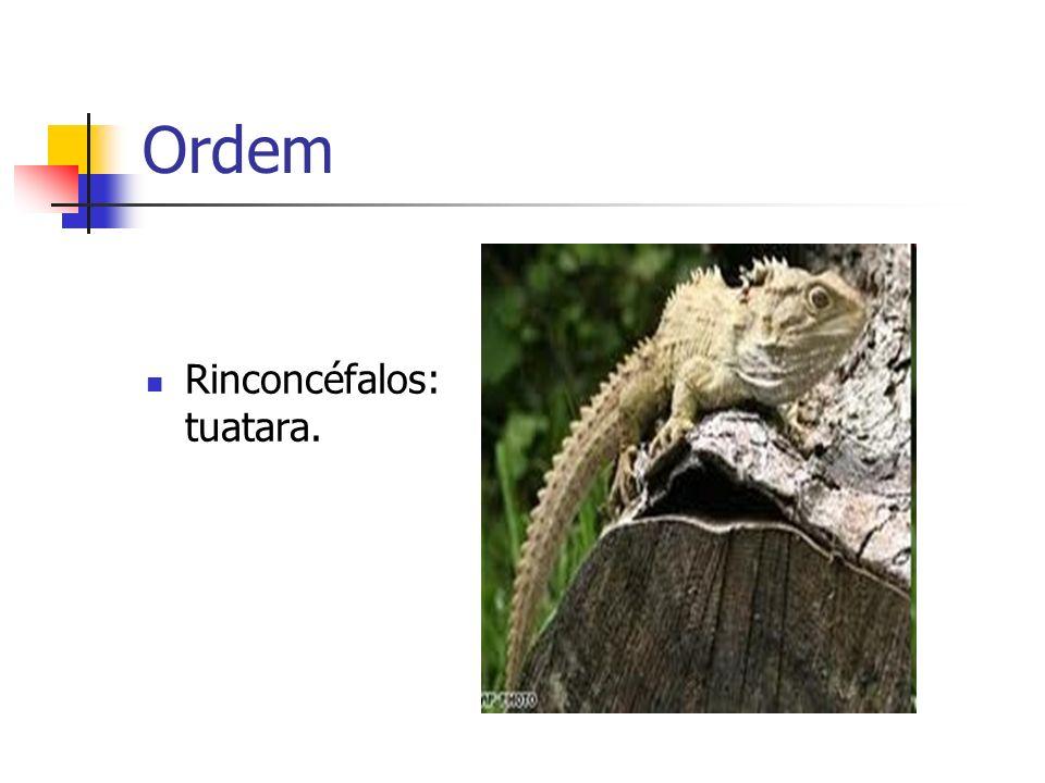 Ordem Rinconcéfalos: tuatara.