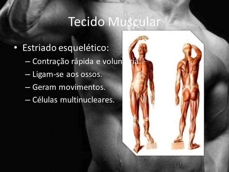 Tecido Muscular Estriado esquelético: – Contração rápida e voluntária.