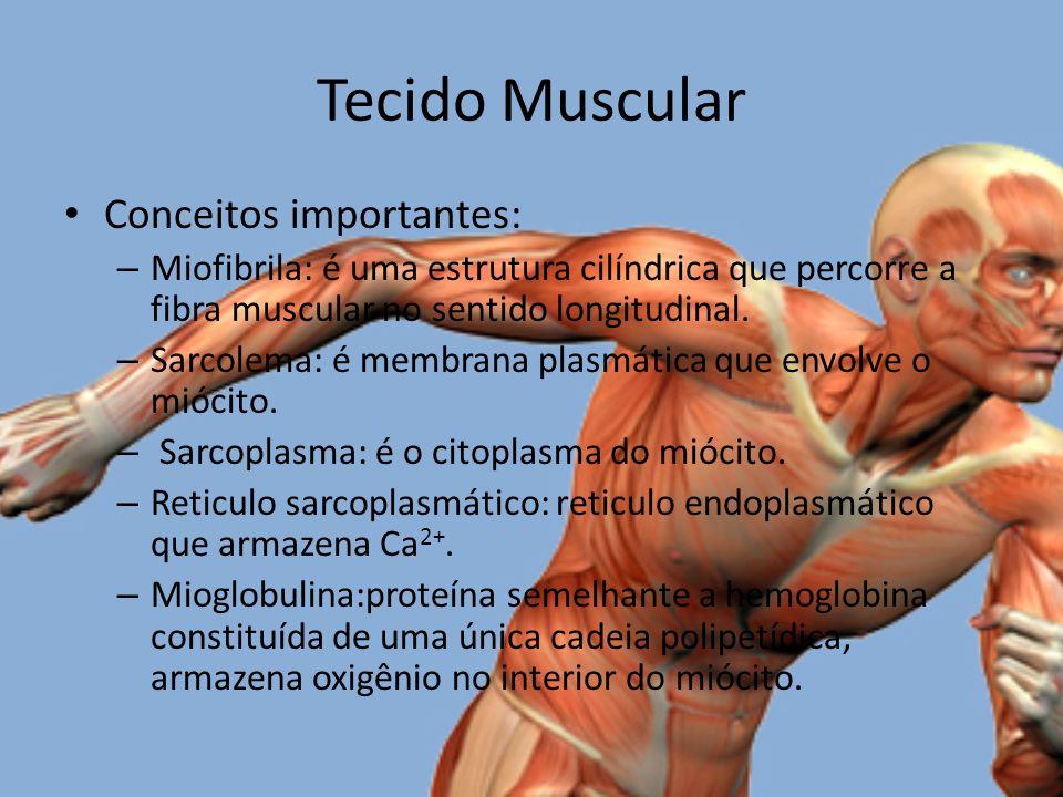 Tecido Muscular Conceitos importantes: – Miofibrila: é uma estrutura cilíndrica que percorre a fibra muscular no sentido longitudinal.