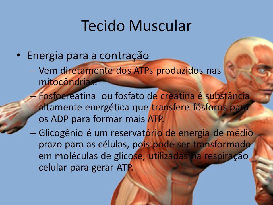 Tecido Muscular Energia para a contração – Vem diretamente dos ATPs produzidos nas mitocôndrias.