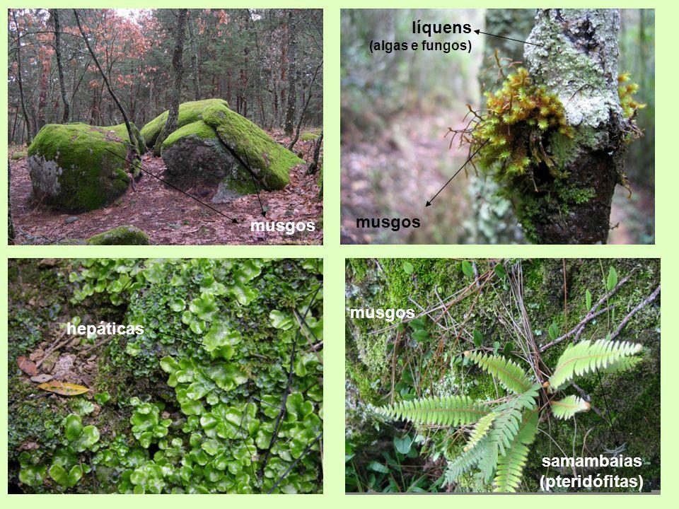 líquens (algas e fungos) hepáticas musgos samambaias (pteridófitas)