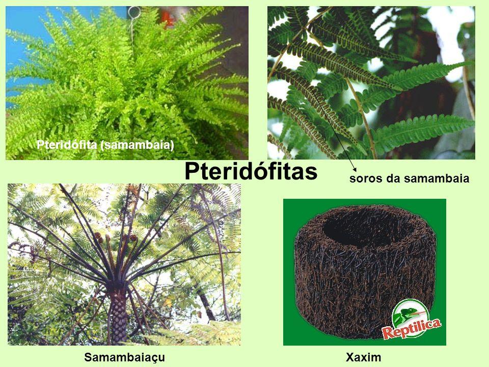Pteridófita (samambaia) soros da samambaia Samambaiaçu Pteridófitas Xaxim