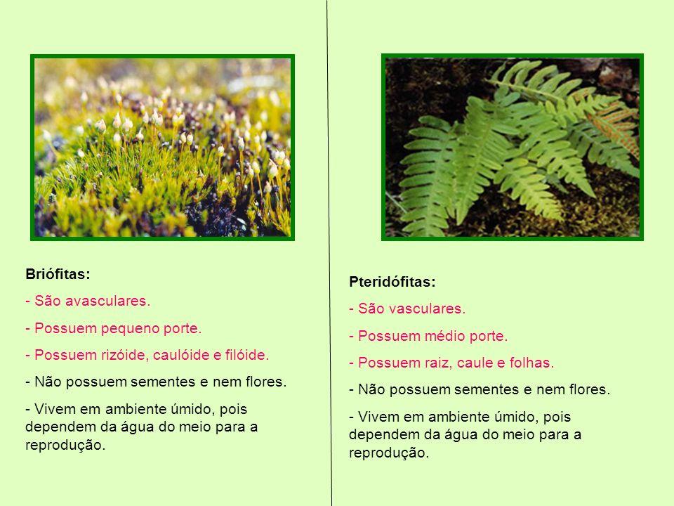 Briófitas: - São avasculares. - Possuem pequeno porte. - Possuem rizóide, caulóide e filóide. - Não possuem sementes e nem flores. - Vivem em ambiente