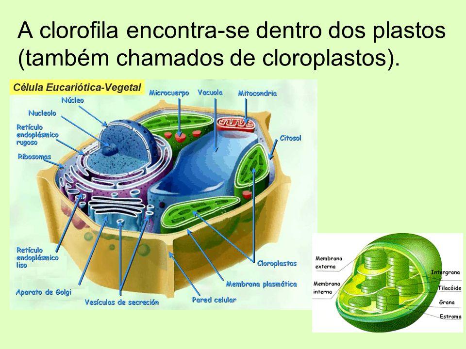 A clorofila encontra-se dentro dos plastos (também chamados de cloroplastos).